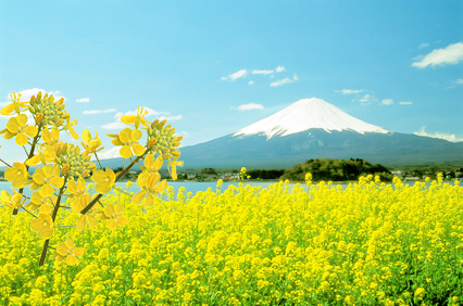 河口湖の菜の花富士